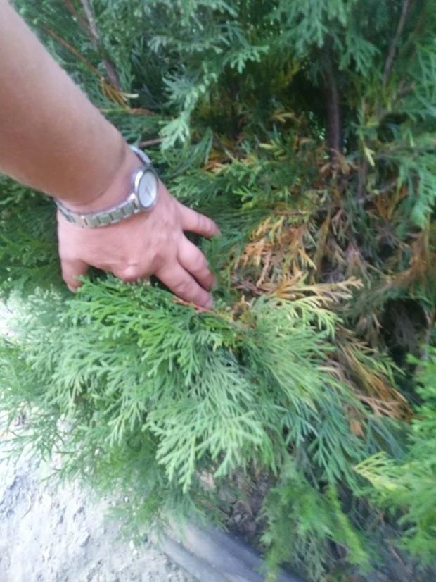Почему туя в горшке сохнет. сохнут листья: причины и их устранение