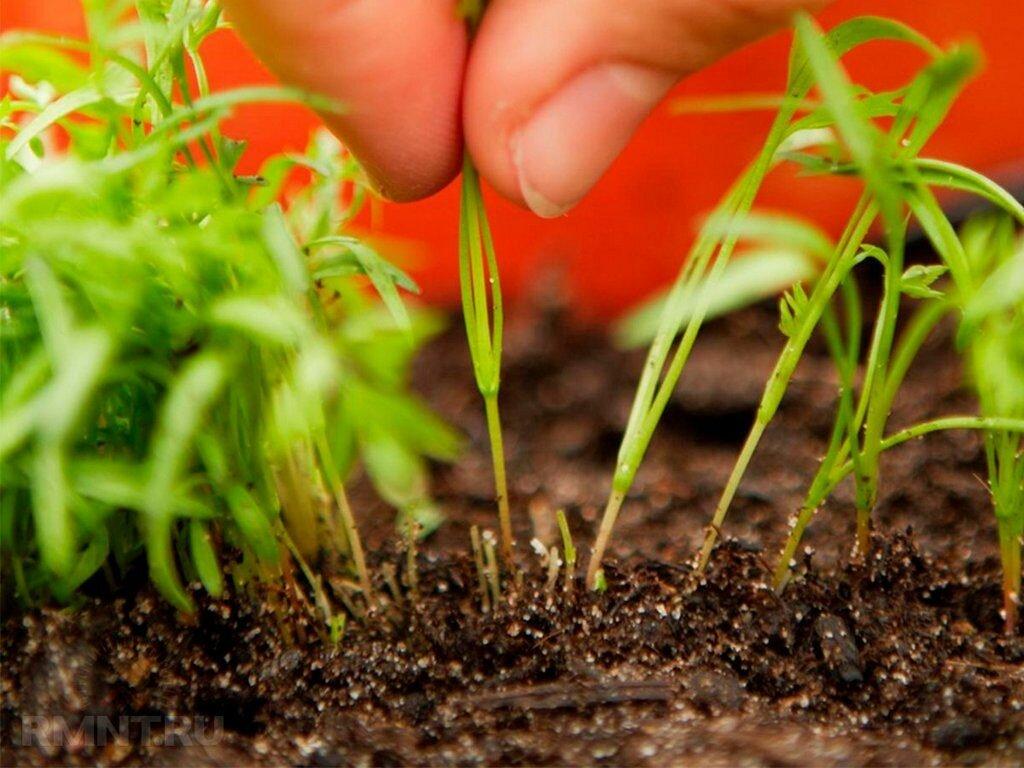 Секреты успешного посева: как посадить морковь, чтобы быстро взошла?