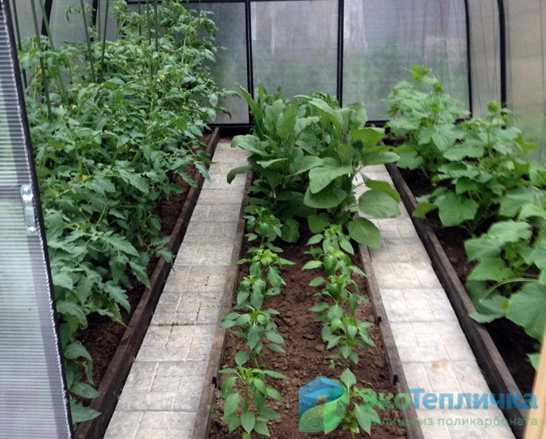 Можно ли сажать перец и помидоры в одной теплице: правила соседства