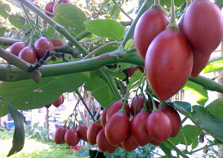 Выращивание тамарилло в домашних условиях