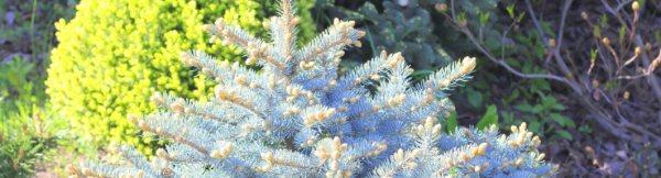 Декоративные ели (44 фото): виды елей для выращивания в горшке и в саду, разновидности голубых елей для дачи. стрижка и примеры ландшафта
