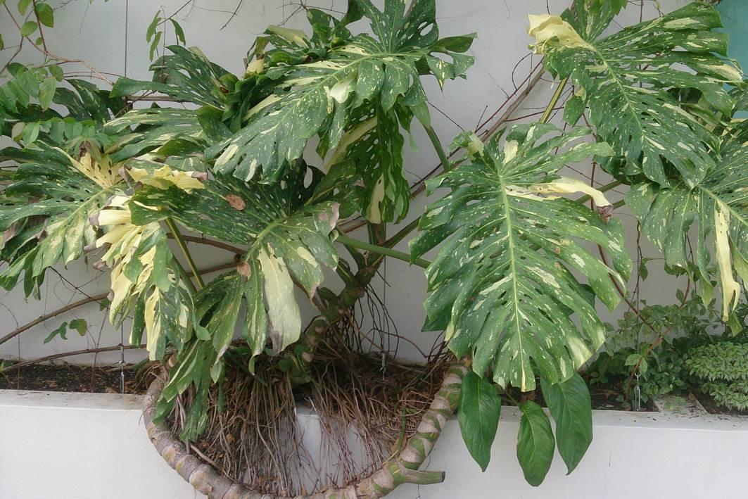 Цветок монстера: описание с фото, посадка и уход в домашних условиях, пересадка и размножение