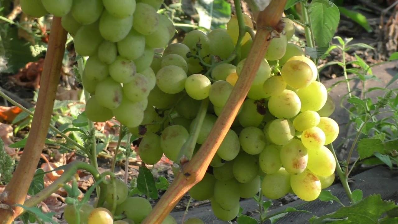 Виноград «кишмиш лучистый»: описание и выращивание