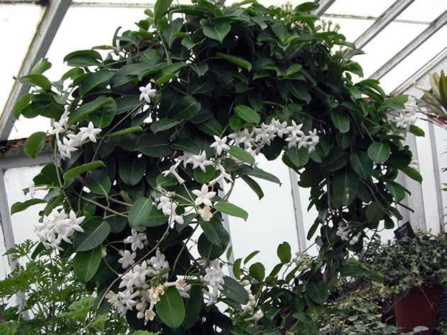 Цветущая лиана: мадагаскарский жасмин