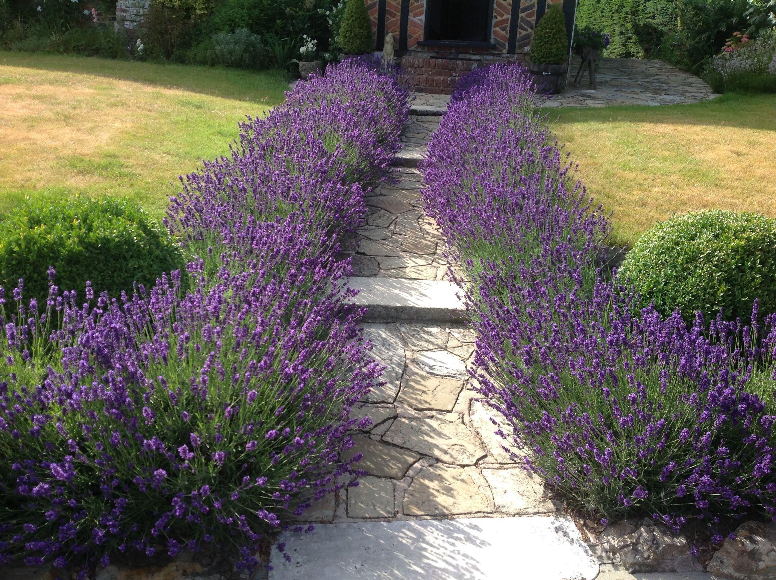 Лаванда в дизайне сада: лучшее сочетание с другими растениями   огородники
