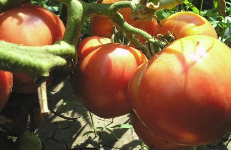 Оправдывает ли свое название томат «моя любовь»: плюсы и минусы гибрида
