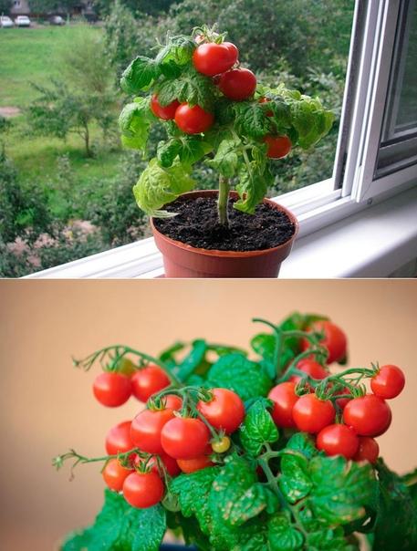 Выращивание помидоров зимой на окне в квартире: можно ли сажать комнатные томаты дома и какие сорта, как ухаживать и бороться с вредителями, советы начинающим русский фермер