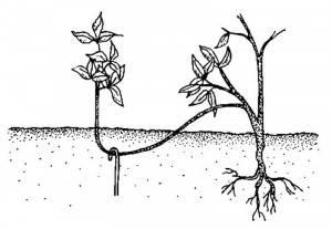 Размножение ежевики весной, летом и осенью: черенками, отводками и другими способами