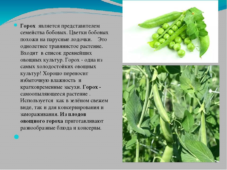 Горох посевной — pisum sativum l.