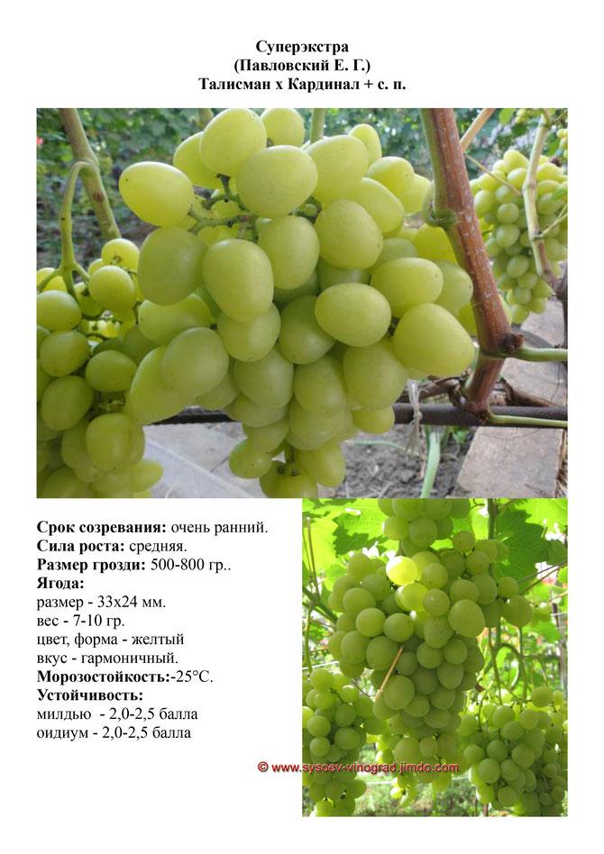 Сорт винограда супер-экстра: описание, фото