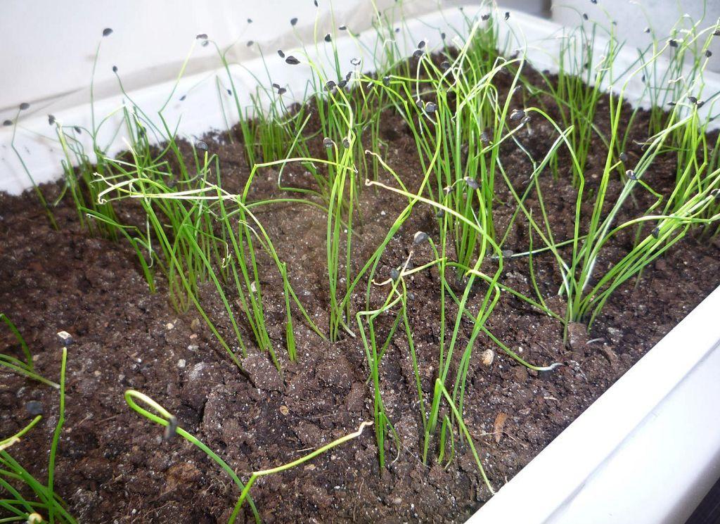 Посадка лука-севка весной в открытый грунт когда сажать схема посадки уход видео