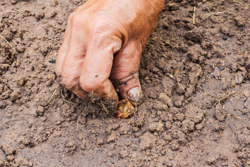 Чеснок: когда выкапывать и сажать новый. выращивание чеснока