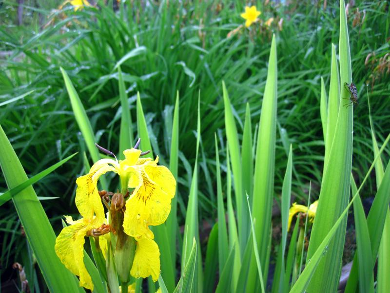 Ирис болотный посадка и уход   все о растениях