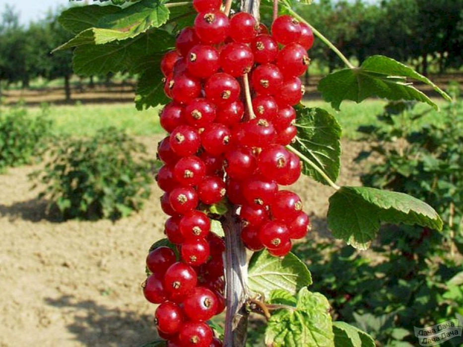 Смородина красная ранняя сладкая: описание сорта