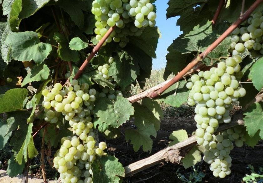 """Виноград """"мускат белый"""": описание сверхраннего сорта, его особенности и характеристики selo.guru — интернет портал о сельском хозяйстве"""