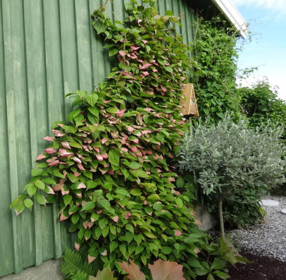 Лучшие сорта актинидии для выращивания в Подмосковье, посадка и уход