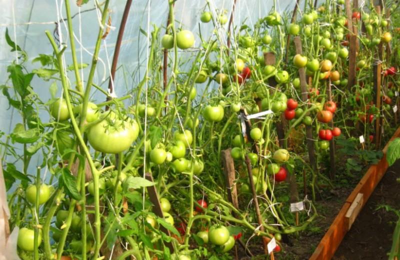Лучшие сорта томатов для теплиц из поликарбоната для подмосковья