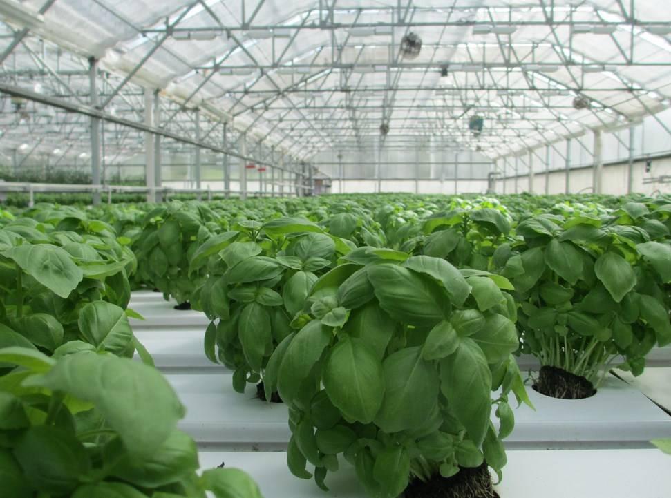 Выращивание базилика и уход за ним: как вырастить его в открытом грунте и в теплице на даче, отзывы