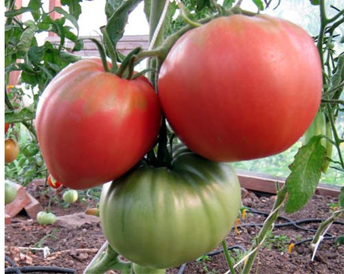 Томат розовое чудо f1: отзывы, фото, урожайность | tomatland.ru