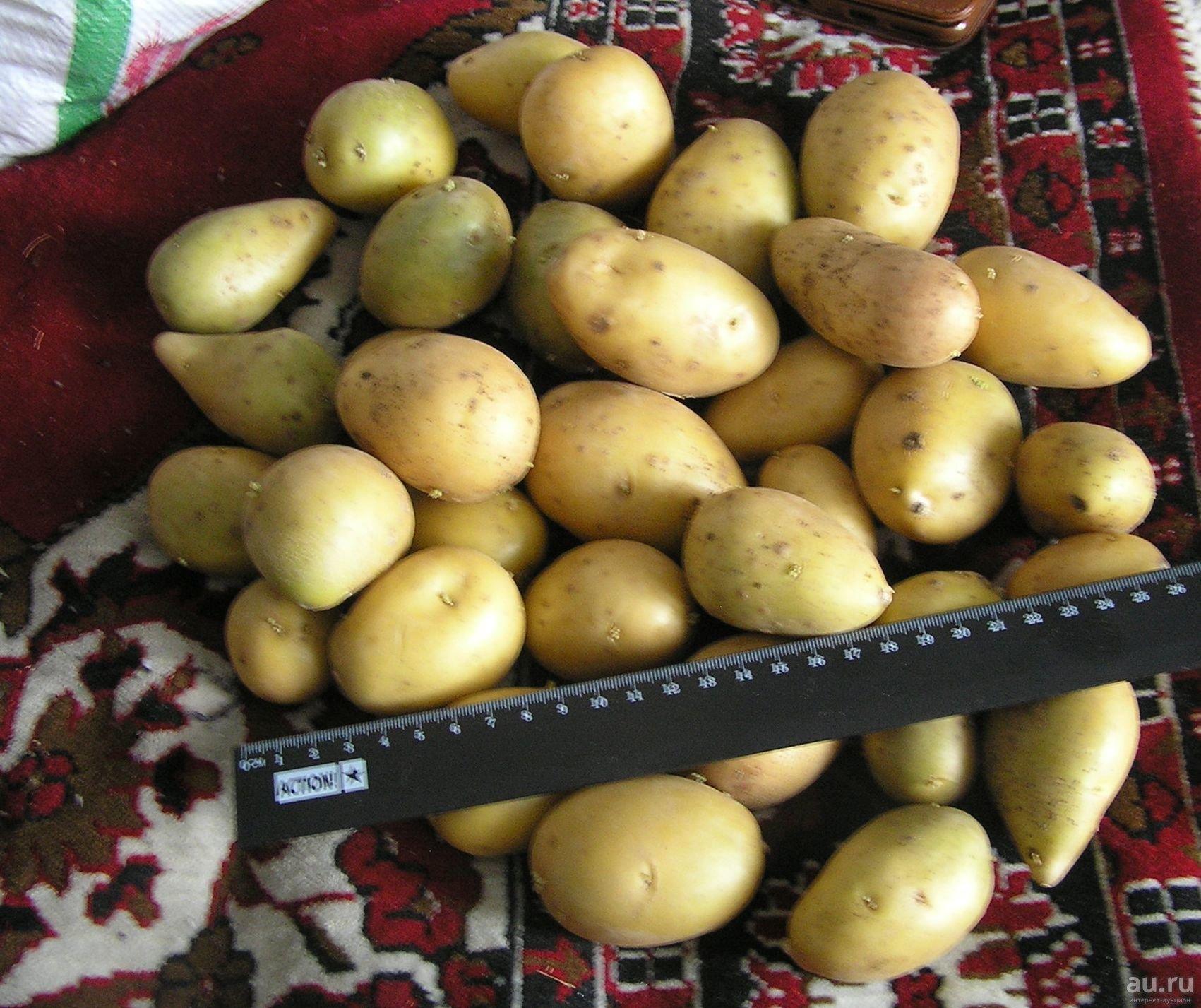 Сорт картофеля королева анна: характеристика и описание картошки, пошаговая инструкция по выращиванию и схема посадки, а также фото клубней