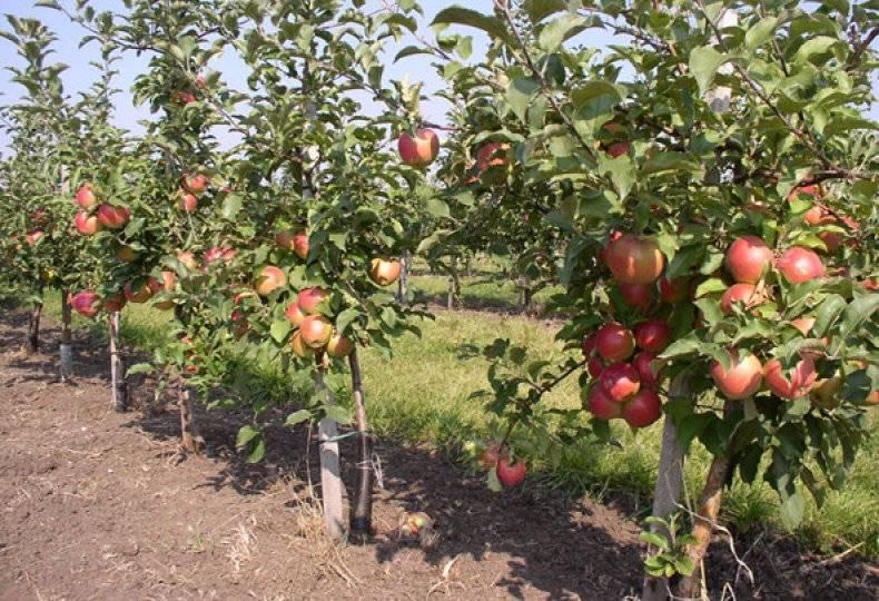 Описание сорта яблони лобо: фото яблок, важные характеристики, урожайность с дерева