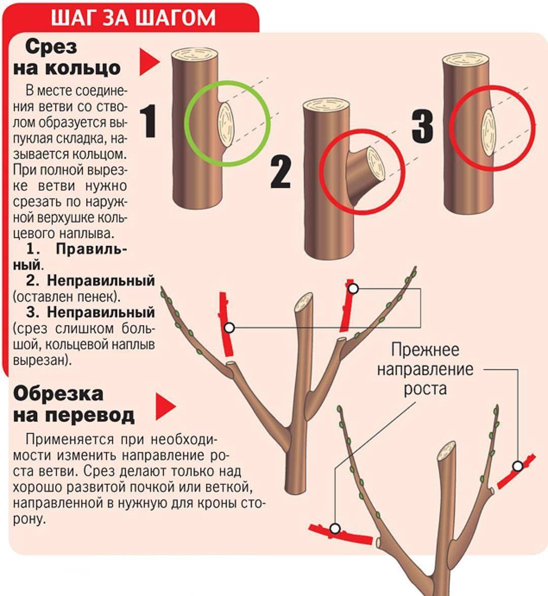 Как обрезать яблони весной. обрезка яблонь фото, сроки, схемы и видео