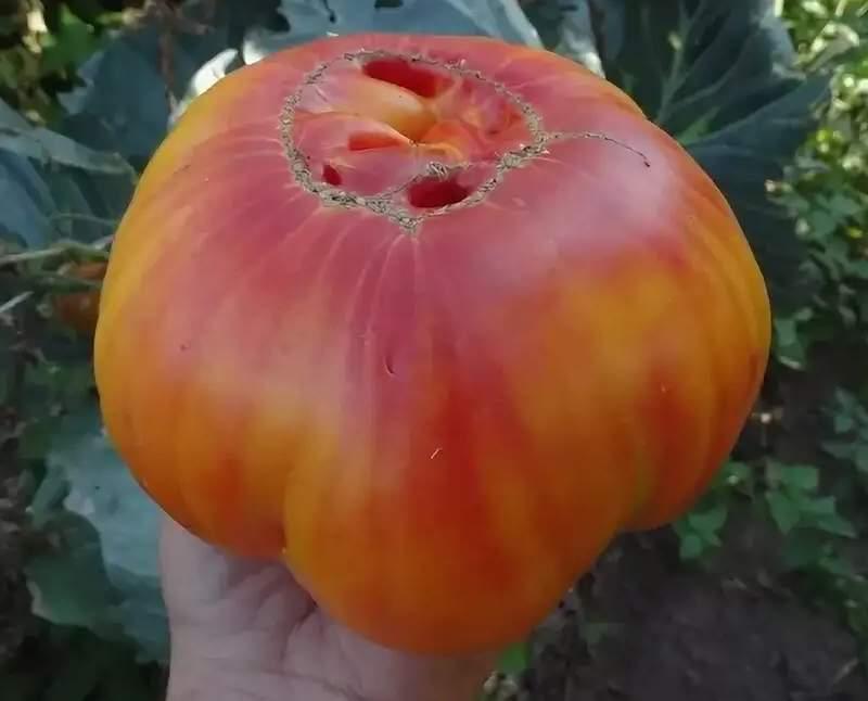Описание сорта томата гавайский ананас, особенности выращивание и уход – дачные дела