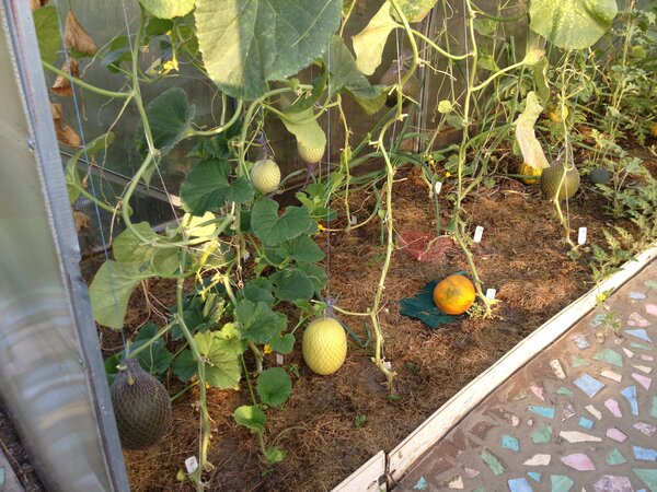 Формирование, посадка, выращивание и уход за дыней в теплице