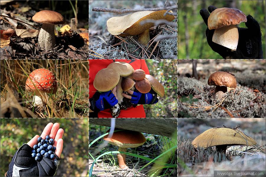 Съедобные и несъедобные грибы подмосковья: какие грибы собирают в сентябре, как определить съедобность опят, лисичек, маслят