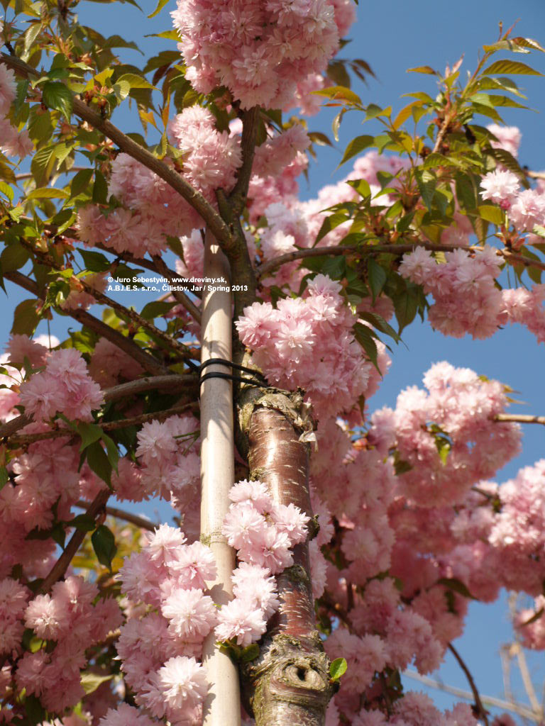 Японская вишня сакура – посадка и уход