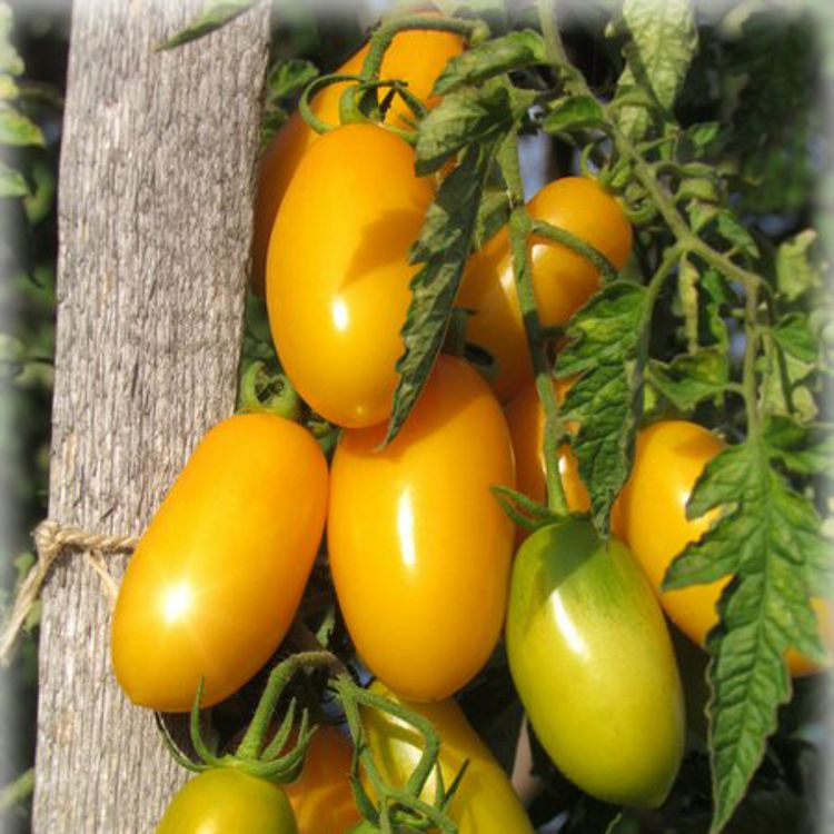 Томат идальго — описание сорта, отзывы, урожайность
