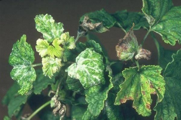 Белый налет на листьях смородины. лечение и профилактика