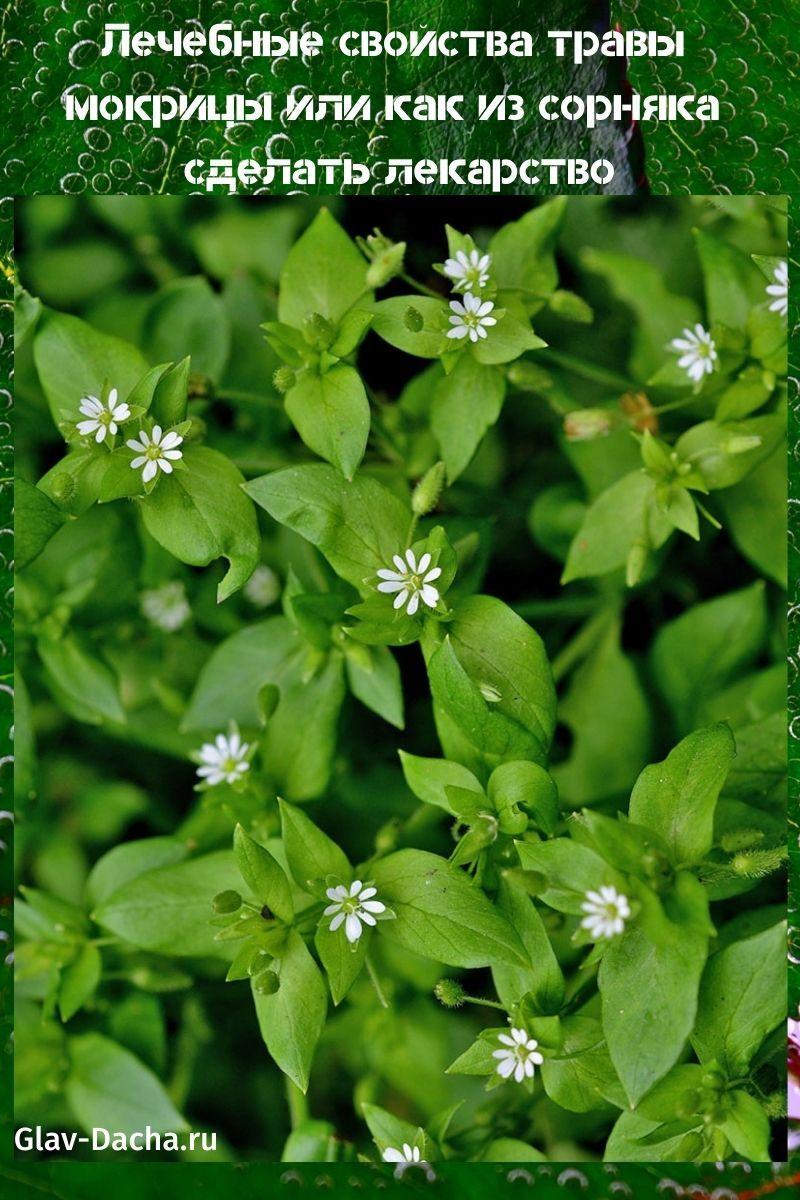 Трава мокрица: лечебные свойства, противопоказания, от чего помогает растение, фото