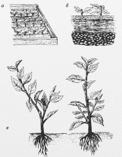 Можно ли вырастить грушу из семечка в домашних условиях: правила и особенности выращивания