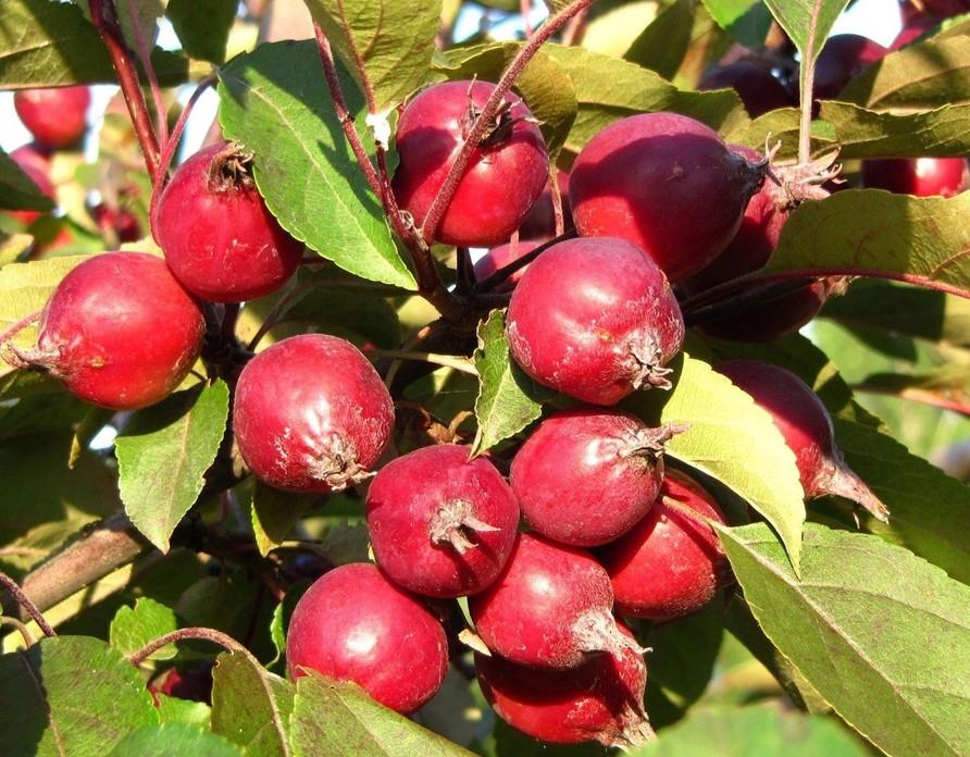 Яблоня ягодная (сибирка)