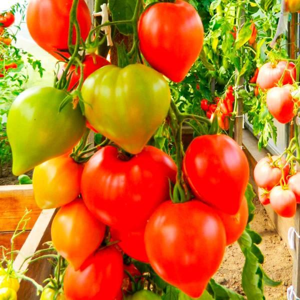 Описание сорта томата хали-гали, его характеристика и урожайность