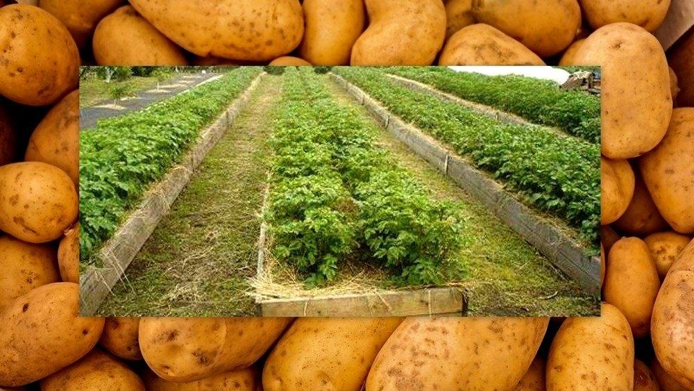 Метод посадки картофеля по митлайдеру: что это такое, какие сорта подходят, как проводить процедуру по этому способу, а также уход и сбор урожая
