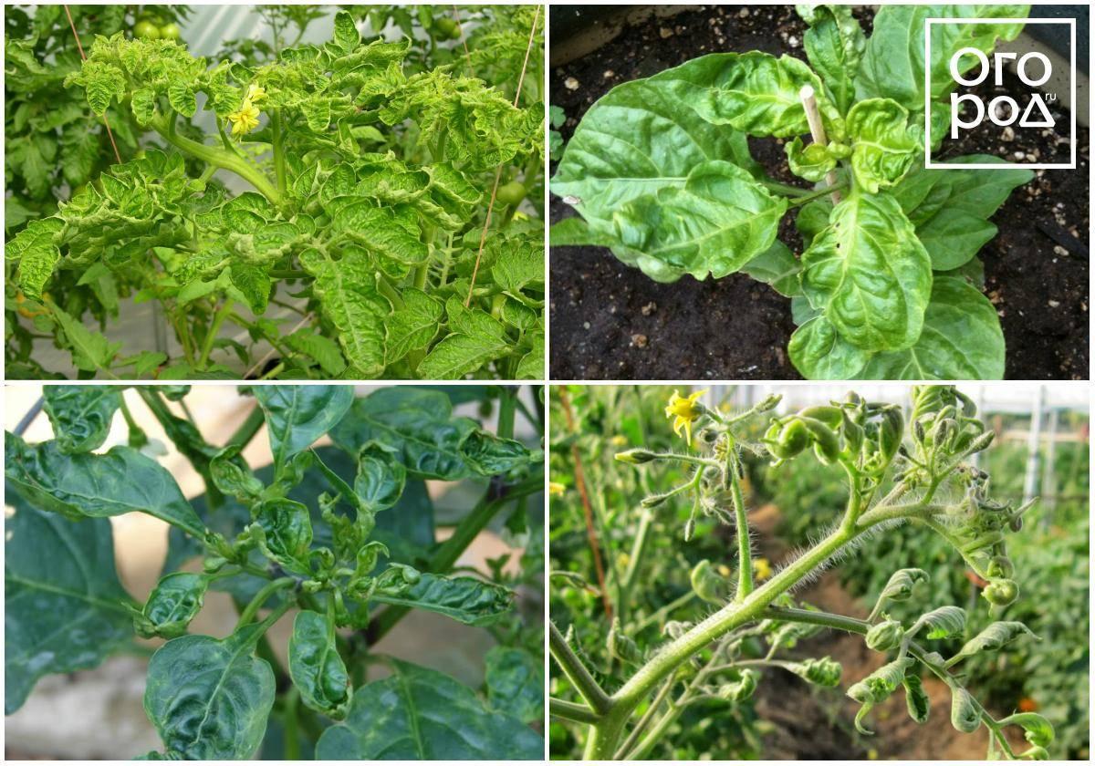 Почему у рассады помидор скручиваются листья вверх, внутрь, вниз, что делать