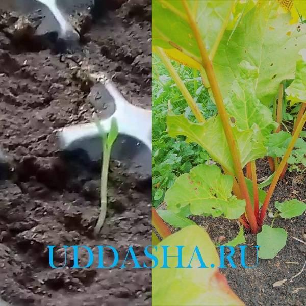 Ревень: выращивание на огороде из семян