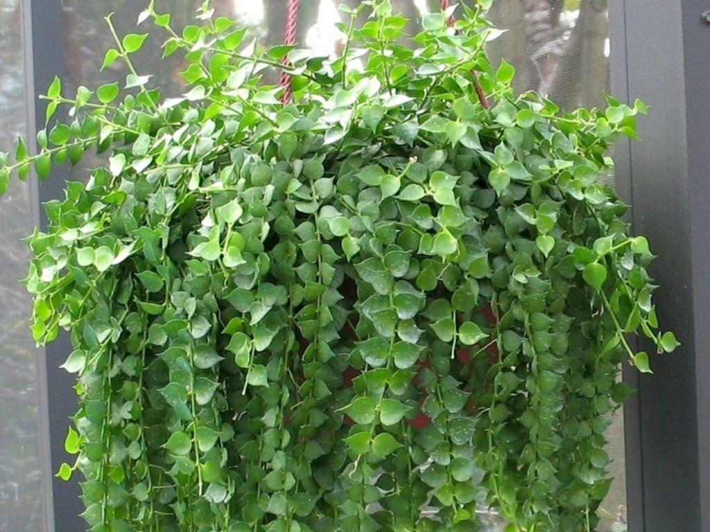 Ампельные комнатные растения: изящные декораторы для дома