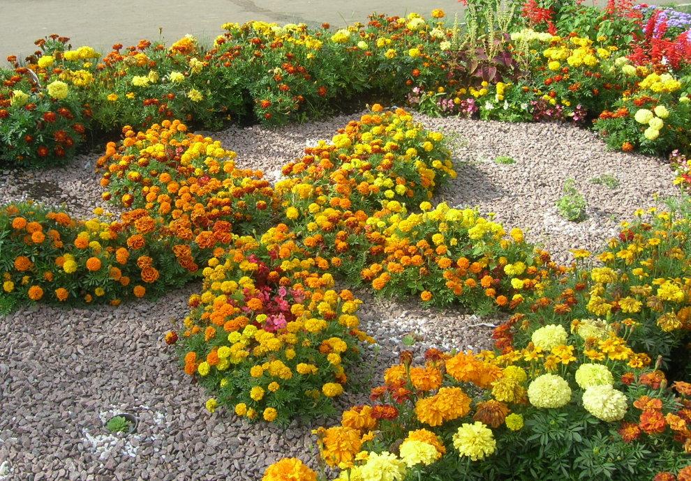 Бархатцы в вашем саду - 100 фото примеров