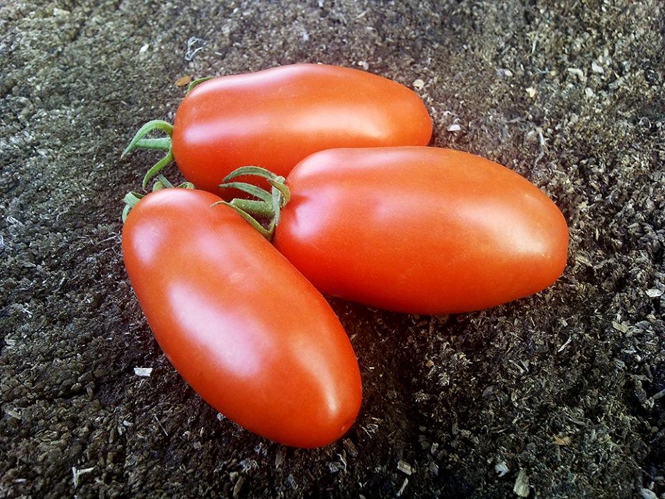 Алый мустанг – отличный сорт перцевидных помидоров