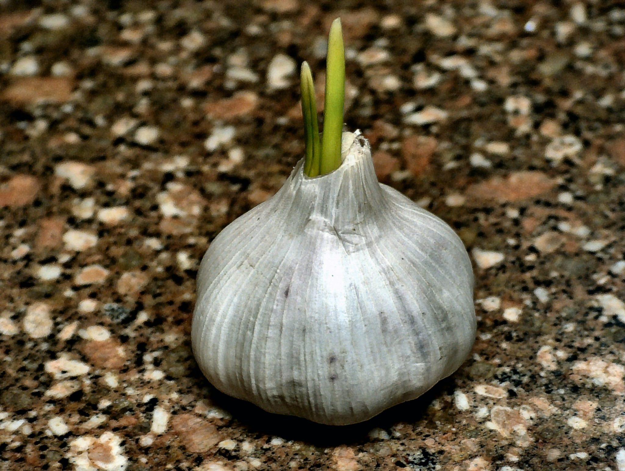 Китайский чеснок: фото, что это такое, можно есть или нельзя, полезен ли и чем вреден, опасен или нет, почему зеленеет, а также как отличить от российского? русский фермер