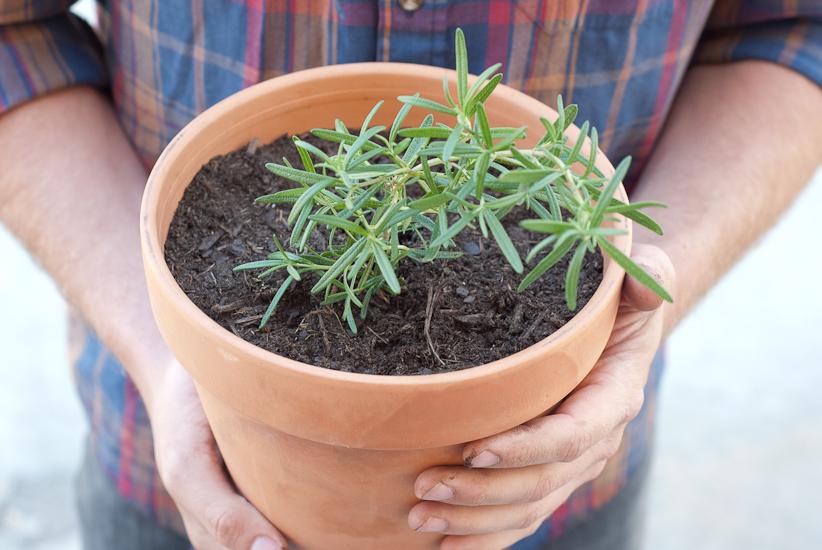 Агротехника розмарина в квартирах: как посадить, размножать, поливать