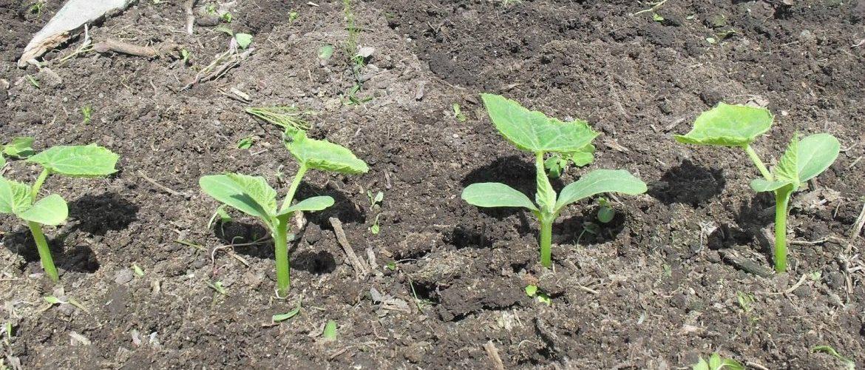 Правильно пересадить огурцы | вырасти сад!