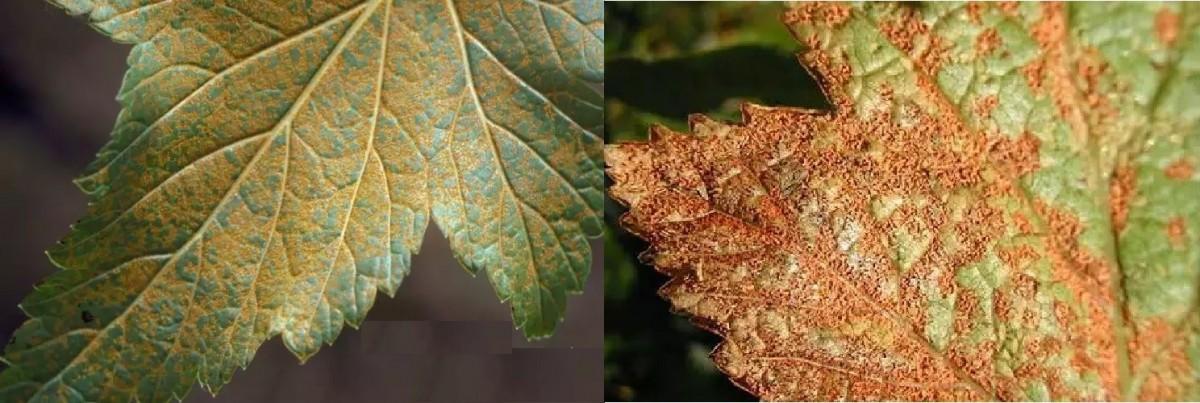 Сохнут и скручиваются листья астильбы: что делать, если в саду засыхают края листьев астильбы? причины и лечение
