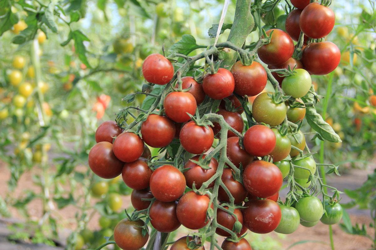 Подобие черной смородины томат черная гроздь: характеристика и описание сорта