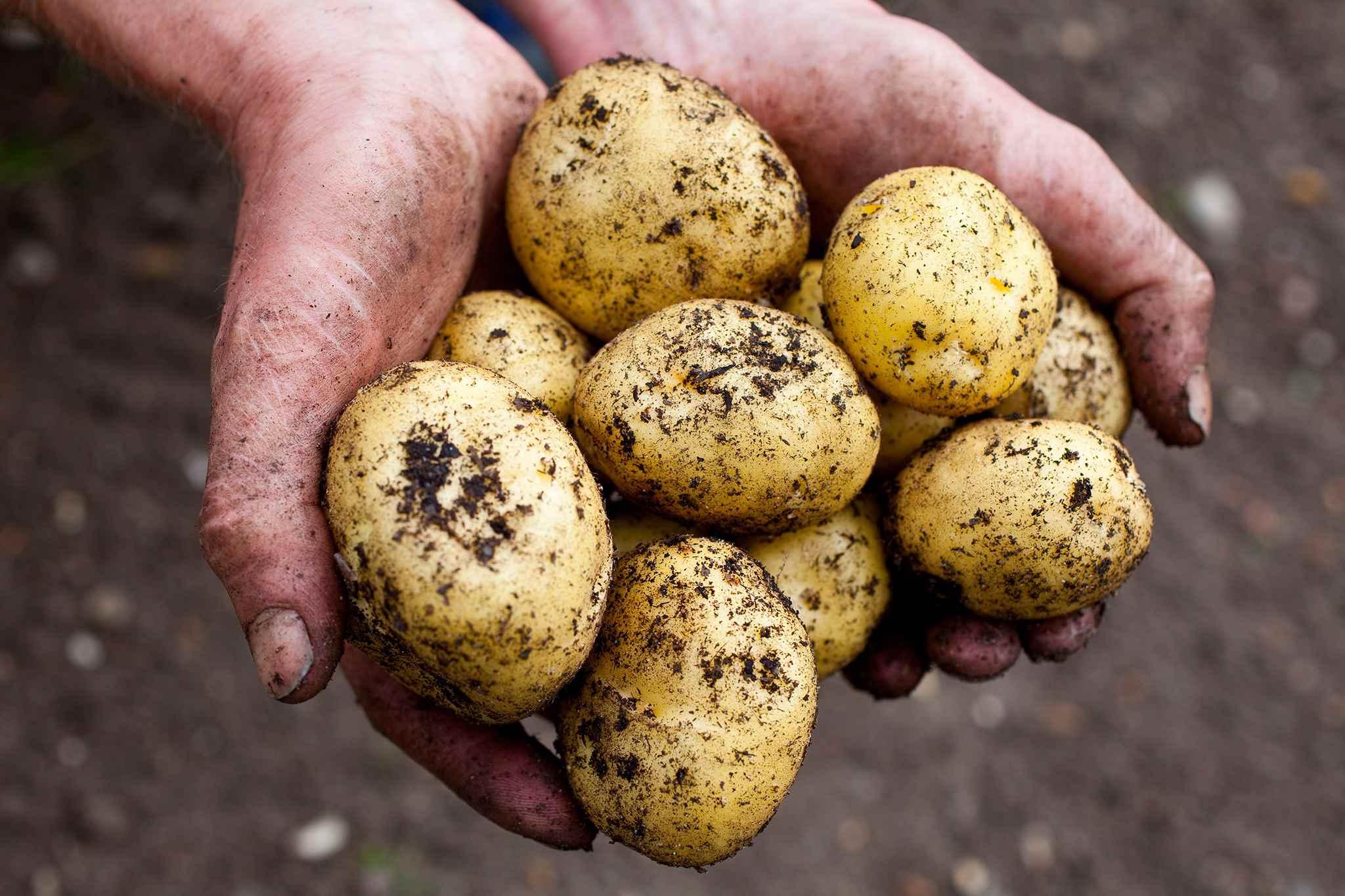 Картофель латона: описание сорта, фото, отзывы, урожайность, посадка и уход