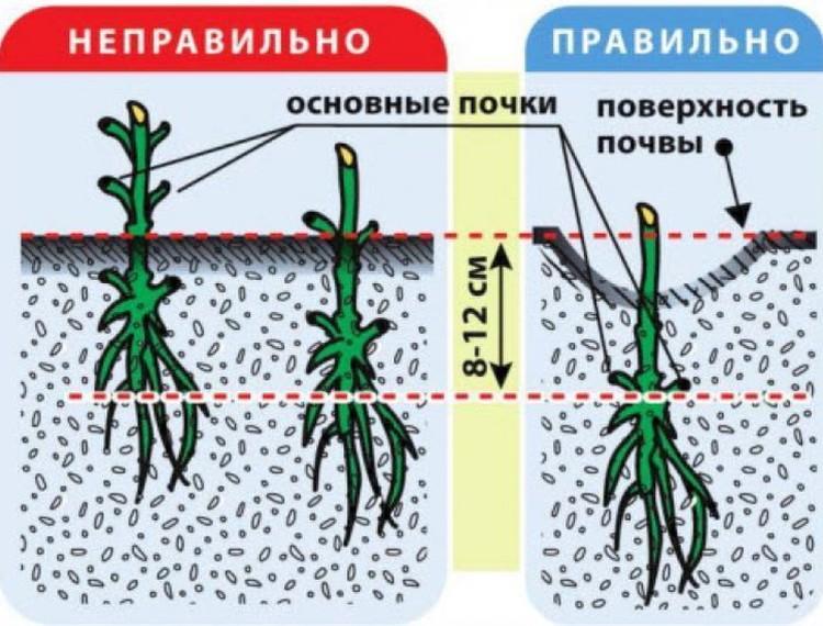 Цветок клематис – посадка и уход в открытом грунте, виды и сорта клематиса (фото) и описание, обрезка клематиса и зимовка