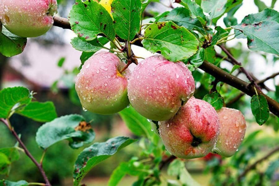 Яблоня уралец: описание сорта, фото, отзывы